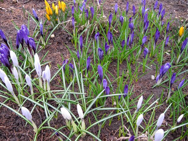 первые цветы весной