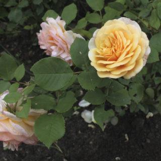 розы чайные