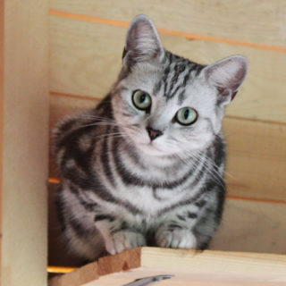 кошка Астра